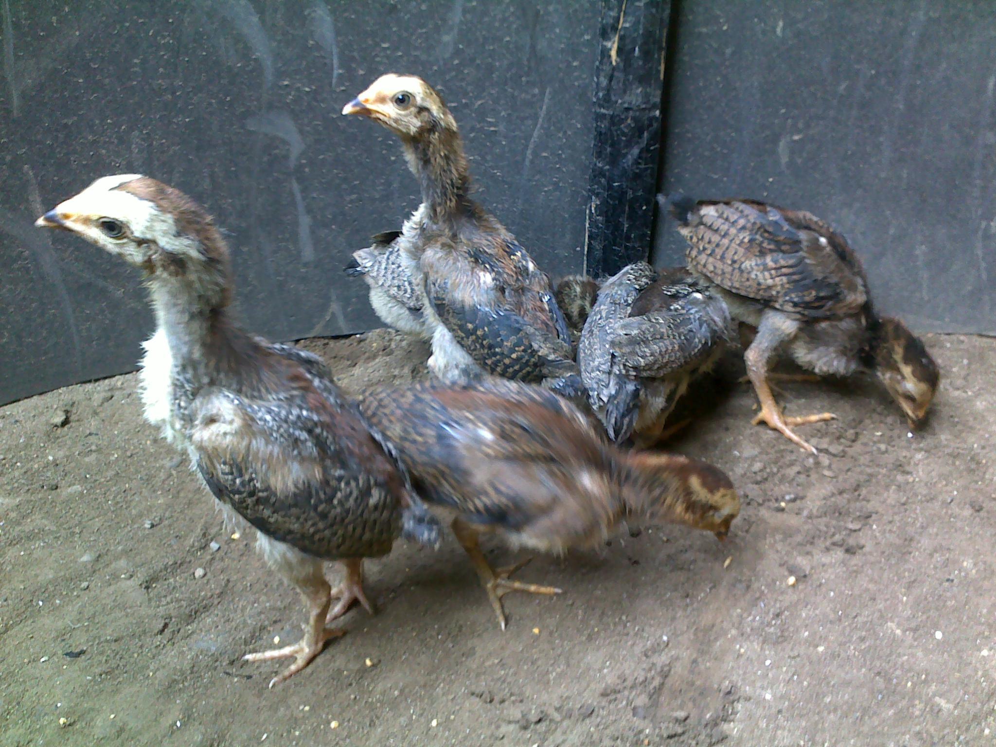 100 Gambar Ayam Umur 1 Bulan Paling Keren